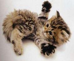 bébé chat joueur