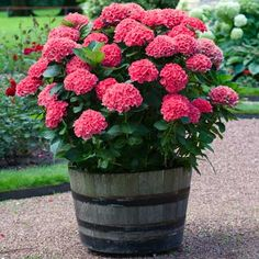 The Only Red Re-Blooming Hydrangea - This new red hydrangea is quickly becoming our most popular plant because... • it's the only reblooming red hydrangea • you get giant, bright red blooms that last for weeks • gets just 3 ft. tall, so it will fit in tight spaces Get Months of Reblooming, Vibrant Red Blooms... Hydrangeas For Sale, Hydrangea Potted, Hydrangea Seeds, Hydrangea Shrub, Hortensia Hydrangea, Hydrangea Landscaping, Red Hydrangea, Hydrangea Care, Hydrangea Macrophylla
