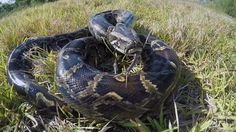 Burmese pythons found in Key Largo, western Palm Beach County extending their range and putting more of South Florida's wildlife at risk of becoming lunch.