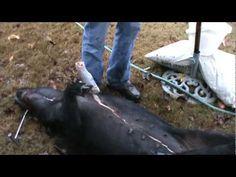 How to field dress a Wild Hog