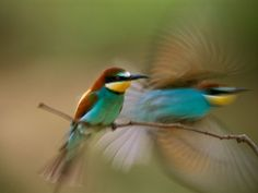 Bee-Eaters, Hungary.  Photograph by Joe Petersburger, National Geographic