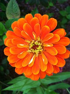 Bright orange zinnia