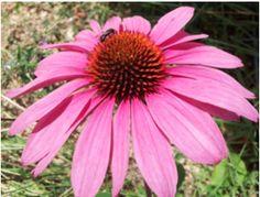 - La Equinacea (echinacea purpurea/angustifolia) una joya de los indios americanos, contiene en sus hojas un agradable sabor cítrico picante que ayuda a mantener nuestro sistema defensivo estable frente a enfermedades infecciosas.