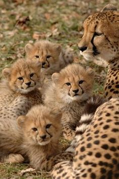 Zoo to build $1.5 million cheetah facility in Warren County - 5 minutes from my house!!