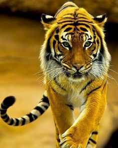 Focus.. Bengal tiger Photo by ©Jeffrey Armstrong #Destination_wild