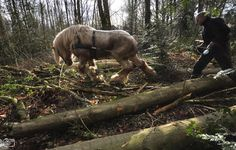 Brabant (Belgian) heavy draft horse pulling logs in the forest. Sp beautiful. Anybody wanna get me one?