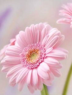 Flowers Photography Portrait Daisies 42 Ideas For 2020 Flowers Nature, Exotic Flowers, Amazing Flowers, Pretty Flowers, Pink Flowers, Pink Gerbera, Bouquet Flowers, Art Flowers, Flowers Garden