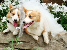 I'm telling you babe, we need to get two corgis and do this for our wedding.