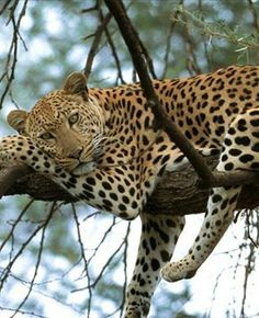Leopard, not a jaguar.strongest climbers among the cats. Leopard Wallpaper, Cat Wallpaper, Animal Wallpaper, African Animals, African Safari, South Africa Holidays, Panthera Pardus, Gato Grande, Wild Life