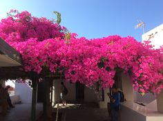 Santorini..begonville