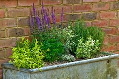 Herbs planted in a metal trough - © Rob Whitworth/GAP Photos I have been doing this for several years, using galvanized trunks. Time to top-up the soil level and replant in the kitchen garden