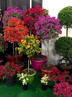 Beautiful Bougainvillea Topiary Trees You are in the right place about tropical garden ideas plants Landscaping Trees, Front Yard Landscaping, Landscaping Design, Landscaping Software, Bougainvillea Tree, Garden Front Of House, Magic Garden, Topiary Trees, Patio Plants