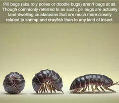 Pill bugs - WTF fun facts< I thought they were called woodlice The More You Know, Good To Know, Pill Bug, Spring Decoration, Interesting Information, Interesting Facts, Amazing Facts, Fascinating Facts, Interesting Stories