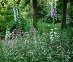 digitalis in the shade