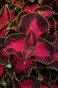 Coleus Chocolate Covered Cherry - photo PanAmerican Seed For 2013, PanAmerican Seed adds Cherry to the Chocolate Covered Coleus (Solenostemon scutellarioides) series. With its bold colour pattern, it forms according to the breeder great companion to other 'chocolate' coleus'.