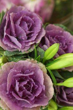 purple roses (tersessenta)