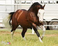 Bay paint horse