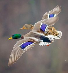 Waterfowl Hunting, Duck Hunting, Duck Mount, Duck Pictures, Duck Decoys, Wildlife Nature, Mallard, Colorful Birds, Wild Birds