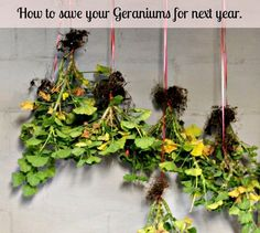 Great post on how to save your geraniums and plant them for next year.  I did this in my garden and this idea works great.