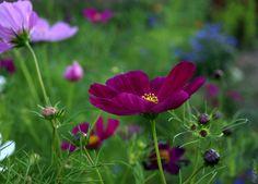 Krasuľka perovitá (Cosmos bipinnatus). Letnička dorastajúca do výšky 1,2m. Kvitne od júla do septembra.