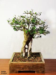 Indoor Bonsai Tree, Bonsai Trees, Potted Trees, Tropical Flowers, Indoor Outdoor, Pots, Gardening, Gardens, Trees In Pots