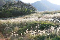 진도의 매화섬 '관매도'에 피어난 은빛의 가을 물결  (사진_한국관관공사 김지호)
