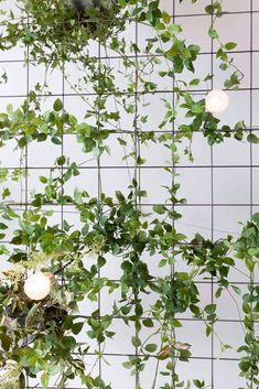 hanging ivy on grid with hanging lights. / sfgirlbybay