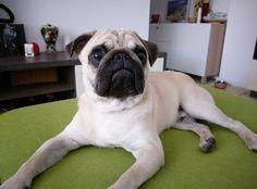 beautiful pug face