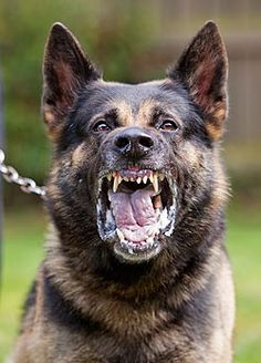 A former prison service German Shepherd working dog showing aggressive behaviour German Dogs, German Shepherd Puppies, German Shepherds, Cop Dog, Kids Saddle, Animals And Pets, Cute Animals, Military Working Dogs, Schaefer