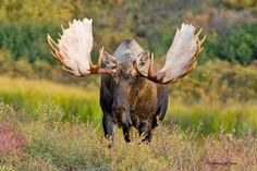 best images and photos ideas about moose - horned animals