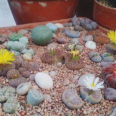 Best time of year for Liphops . 👌 #lithops #cactuscollection #stenocactus #succulent #succulentcollection #cacticollection #cactiflowers #cactusflowers #cactus #cacti #mammillaria #astrophytum #copiapoa  #haworthia #ferocactus #ariocarpus #lophophora #cactuslove #cactuslover #succulove #instacactus #succulent #succulents #echiveria #lithops #sempervivum  #ukcactiandsucculents #cactusmagazine #mycollection