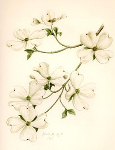 @Mary Kelley: dogwood drawing