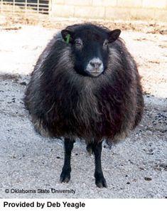 Breeds of Livestock Project - Shetland Sheep (information)