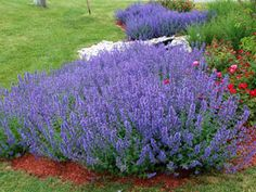 Nepeta Walker's Low - Over 3 months of blue flowers on drought proof perennial! Thrives with Sedums, Coneflowers, & KnockOut Roses.