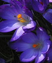 The graduated colors of crocus cultivars can appear as han purple in direct sunlight.