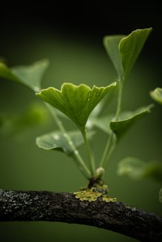 Ginko 3 - Prints available - https://society6.com/jbbth #fineart #nature #photography