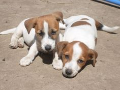 Vand pui Jack Russell terrier