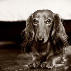 Make Massive Change To Your Dachshund´s Behaviour in Just 1 Day! - dackel #dachshund