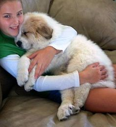 Great Pyrenees Puppy-One of the snuggliest teddy bear dogs......