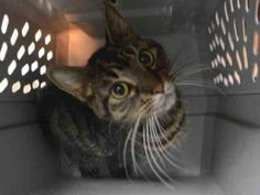 BASEBALL - A1093540 - - Staten Island  ***TO BE DESTROYED 10/20/16 ***BATTER UP!! IT'S BASEBALL SEASON!!….SECOND CHANCE FOR THIS LOVELY GIRL!! …..BASEBALL is a skinny stray who has been on the street too long and she's also dehydrated. She's about 3 years old and only 5 lbs! She needs some good home cooked meals!! BASEBALL is BEGINNER rated and a serious head-butter!! She's calm and likes attention. WHY NOT HIT ONE OUT OF THE PARK TONIGHT