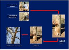 On Exudation of Gum Arabic through Advance Technology authored by JC Tewari in Juniper Publishers Acacia Gum, Gum Arabic, Tree Canopy, Progress Report, Research Institute, Natural Resources, Environmental Science, Author