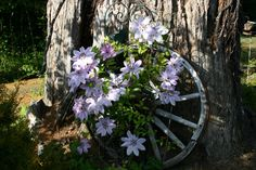 Old Wagon Wheel with Clematis
