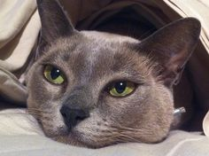 #lilac #burmese #cat