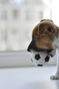 Jack Russell terrier puppy with soccer ball. Chien Jack Russel, Jack Russell Terrier, Cute Puppies, Cute Dogs, Dogs And Puppies, Baby Animals, Funny Animals, Cute Animals, Wild Animals