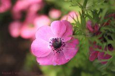 Flower at Duke Gardens   Rachel C Ward Photography rachelcwardphotography@gmail.com