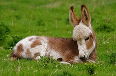 Baby #Donkey Acting Like a #Puppy #Cute #Animals http://www.lolmatters.com/animals/baby-donkey-acting-like-puppy/