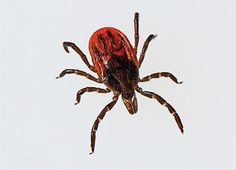 With incisor-like claws that can tunnel beneath your skin in seconds, ticks are rapidly becoming the world's scariest purveyors of deadly pathogens. Carl Zimmer walks into the woods to find out why these tiny beasts are skyrocketing in number – and outsmarting scientists with every bite.