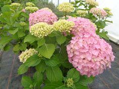 HYDRANGEA macrophylla BELLE SEDUCTION 'Dp168' (BG9) ↕ 1.60m ↔ 2m. Forme cultivée en Chine pour la fleur coupée, très solide, à inflorescences énormes rose clair. Zone USDA 4a(-34°C)