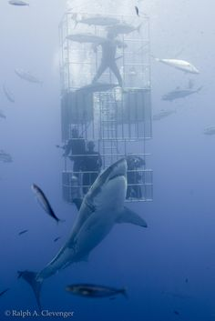 Great white shark and submersible cage Shark Pictures, Shark Photos, Shark Pics, Underwater Creatures, Ocean Creatures, Orcas, Shark Diving, Cage Diving With Sharks, Shark Cage