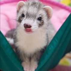 ferret! Check out our CritterCritic blog for lots of great info about animals! www.critterzoneusa.com/pages/blog